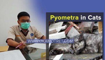 pyometra
